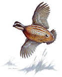 We can put you on the birds  Quail Bird Flying